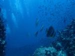 Teira Fledermausfisch am Sail Rock