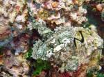 Bärtiger Skorpionfisch am Sail Rock