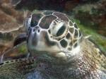 Grüne Schildkröte im Marine Park