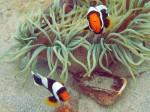 Sattelfleck-Anemonenfisch an einem lokalen Tauchplatz