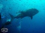 Walhai und mehr in Koh Phangan, Thailand